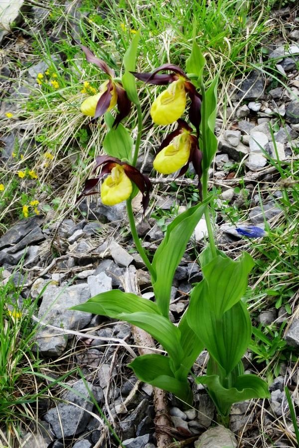 randonnées familiales balades fleurs sabot de Vénus montagne nature