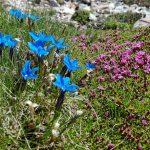 randonnée découverte Dévoluy fleurs gentiane du printemps silène acaule accompagnateur