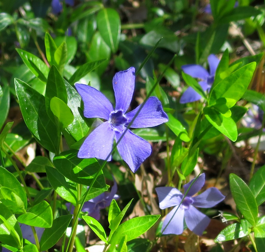 randonnée montagne fleurs accompagnateur pervenche Superdévoluy nature