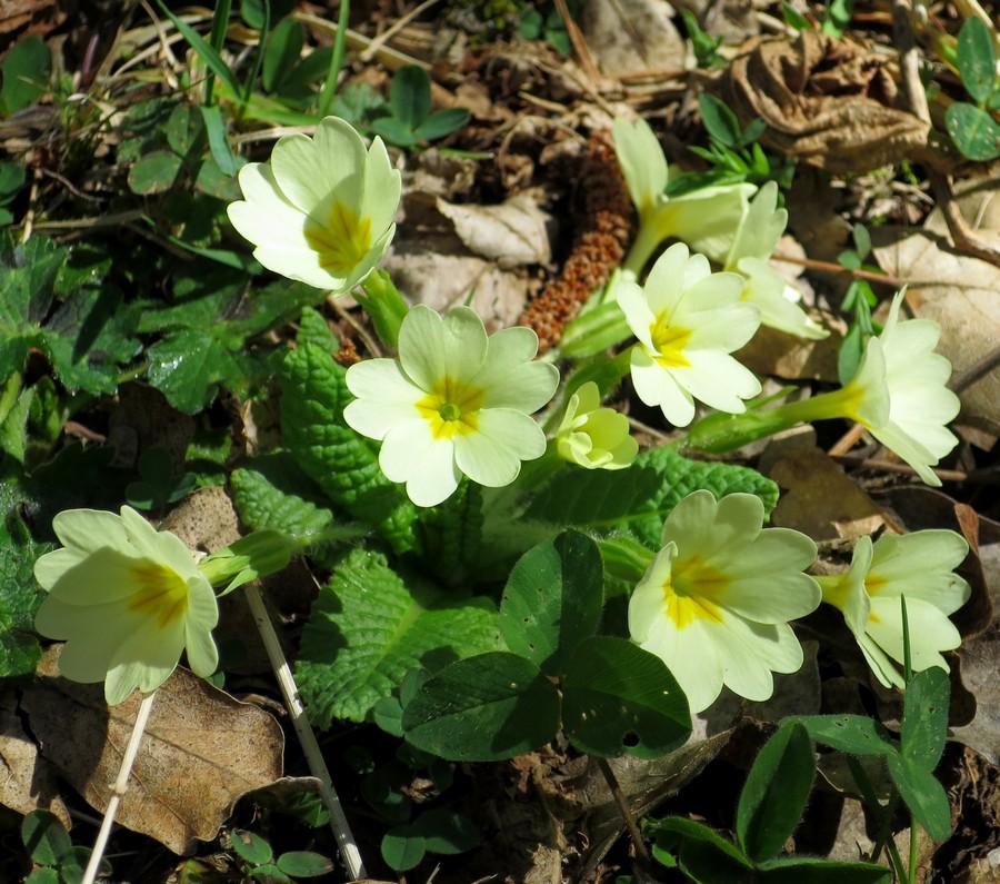 randonnée montagne fleurs accompagnateur primevère Superdévoluy nature