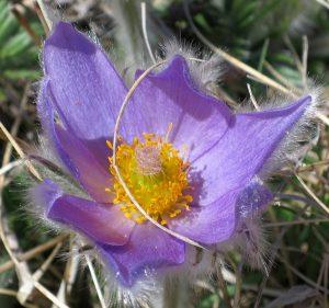 randonnée montagne fleurs accompagnateur anémone pulsatille Superdévoluy nature