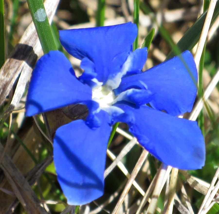 randonnée montagne fleurs accompagnateur gentiane Superdévoluy nature