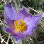 nature randonnée montagne fleurs accompagnateur anémone pulsatille Superdévoluy